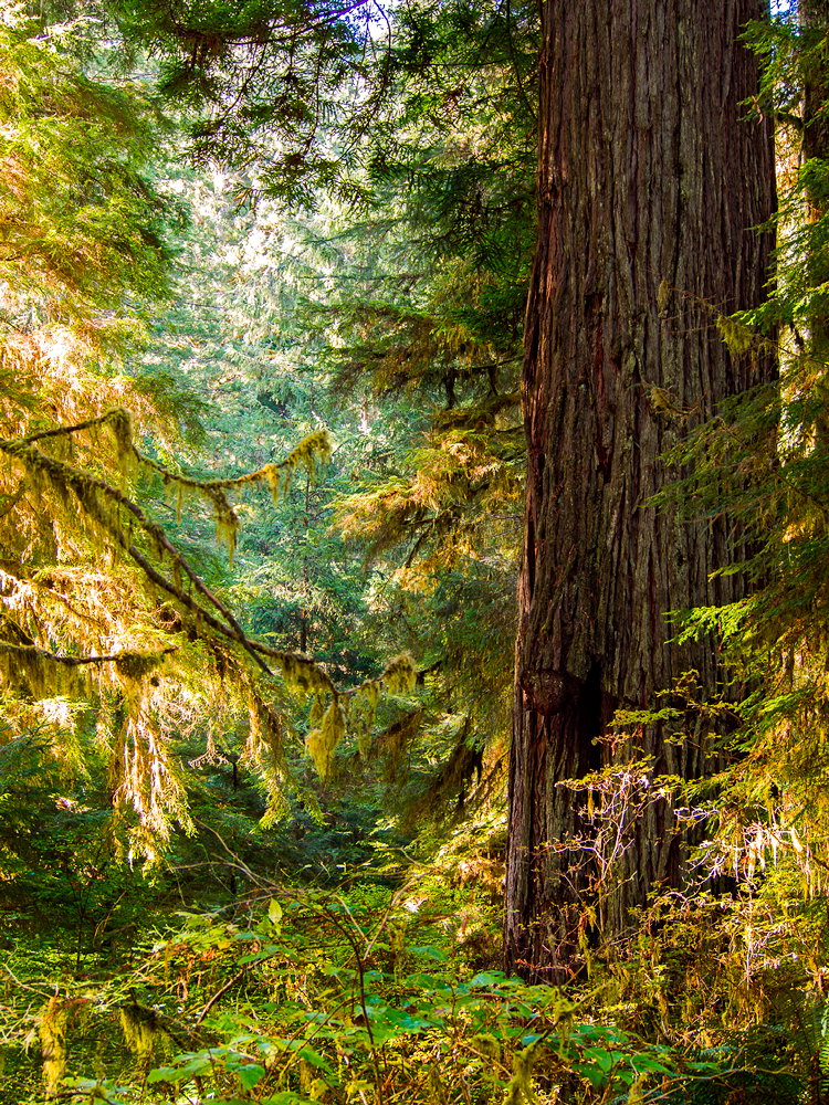 Light filters into a redwood grove in Redwood National Park on November 4, 2013